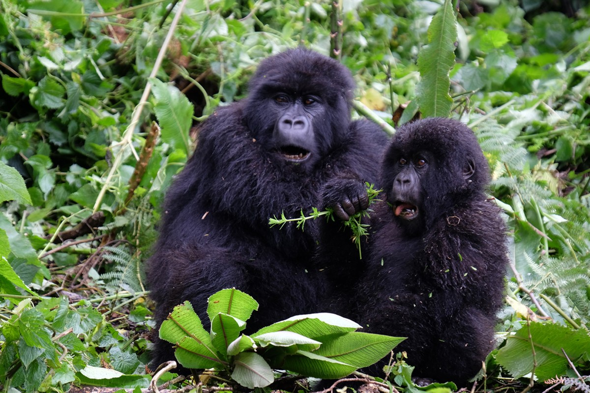 Intrepid offers half-price Rwandan gorilla tours