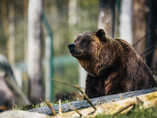 Bear with them: Jasper discontinues weekly bear reports
