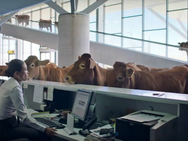 VIDEO: WestJet launches latest campaign with a moo-ving ad