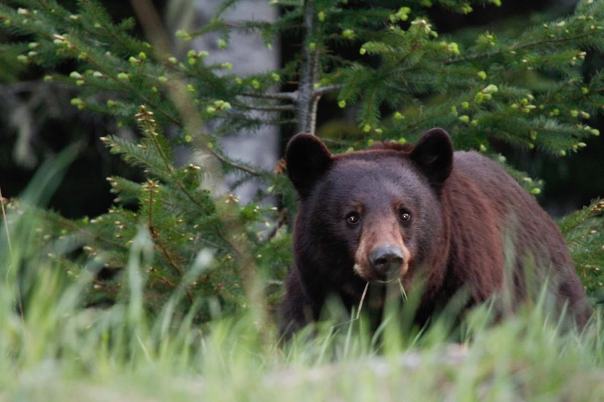 Bear-ing the burden: BC tour op faces $35K bear-baiting fine