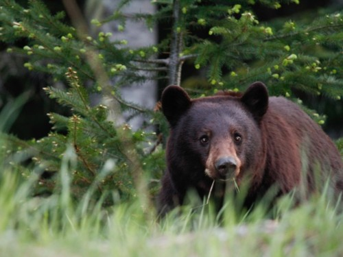 Bear-ing the burden: BC tour op faces $35K bear-baiting fine
