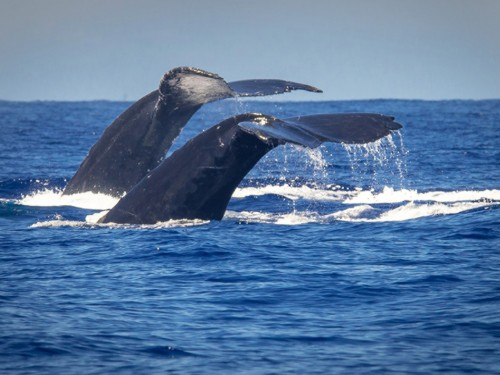 Whale-watching season returns to Four Seasons Resort Maui at Wailea